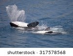 Two Killer Whales  Orcinus Orc...