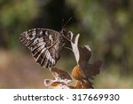 Butterfly Great Banded Graylin...