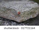Ladybug On Rock.