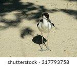 The Bird Pied Avocet On The...