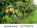Pears Ready For Harvest In A...