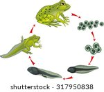 life cycle of frog | Shutterstock .eps vector #317950838