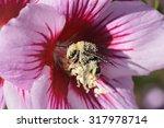 Pollen Encrusted Bumblebee On ...