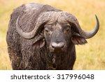 African Cape Buffalo  Syncerus...