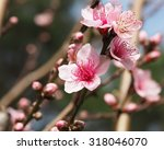 Peach Blossoms Pink 4