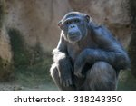 Sitting Monkey. Chimpanzee...