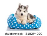 Stock photo cute siberian husky lying on white background isolated 318294020