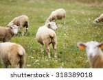 sheep on the meadow at autumn... | Shutterstock . vector #318389018