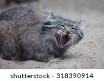 Pallas's Cat In Middle Of...