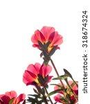 red moss rose purslane on white ... | Shutterstock . vector #318674324