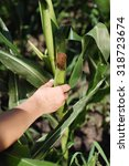 Small photo of Farmer's hands holding an ear of corn in corn field.Unrecognizable person, shallow doff, close up