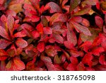 Small photo of Alpine bearberry, Arctostaphylos alpinus­