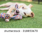 Stock photo cute white and tan puppy plays with rope toy outside 318853670