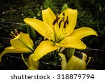 Large Yellow Lily