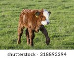 Brown Calf Walk On Green Meado...