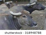 Buffalo  Water Buffalo