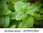 close up of mint plant grown at ... | Shutterstock . vector #319042583