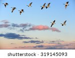 Flock Of Canada Geese Flying...