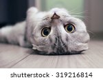 Stock photo scottish fold cat lying on the back 319216814