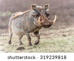 A Warthog  Phacochoerus...