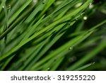 fresh green grass with dew...   Shutterstock . vector #319255220