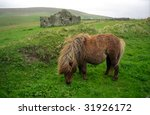 Pony  Shetland  Scotland