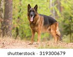 German Shepherd Standing And...