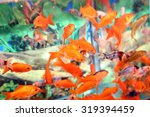 Stock photo many goldfish in an aquarium for sale in the pet store 319394459