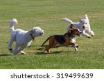 Stock photo dogs at play basset hound and poodles have fun running in a colorado off leash dog park 319499639