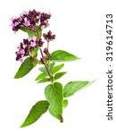 wild marjoram  oregano origanum ... | Shutterstock . vector #319614713