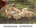 chicken brooding hen and chicks ... | Shutterstock . vector #319643144