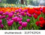 Colorful Of Beautiful Tulip...