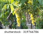 grapes on the vines | Shutterstock . vector #319766786