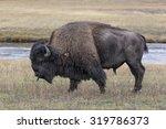 American Bison Scent Tasting