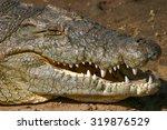 Crocodile On The Banks Of The...