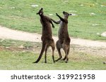 Kangaroos While Fighting At...
