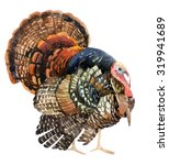 Turkey Bird Illustration....