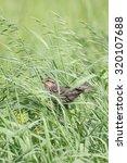 Female Red Winged Blackbird...