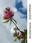 Small photo of Italy, Feijoa plant flower in a garden (Acca sellowiana Sp.)