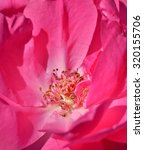 pink rose close up | Shutterstock . vector #320155706