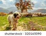 Dogs Guard The Sheep On The...
