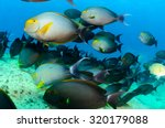 Small photo of (Acanthurus xanthopterus) Yellowfin or purple Surgeonfish in a shipwreck. reefs of the Sea of Cortez, Pacific ocean. Cabo Pulmo, Baja California Sur, Mexico. Cousteau named it The world's aquarium.