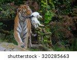 Siberian Tiger Eating And...