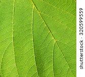 leaf texture   bastard teak ... | Shutterstock . vector #320599559