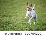 Danish Swedish Farmdog Playing...