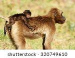 A Female Gelada Baboon Carries...