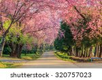 Sakura Or Cherry Blossom On...