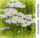 Small photo of Medicinal plant Yarrow (Achillea millefolium).Inflorescence large