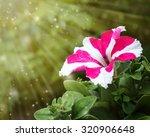 Bicolor Petunia Flower Covered...