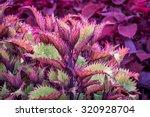Henna Coleus Ornamental Foliag...
